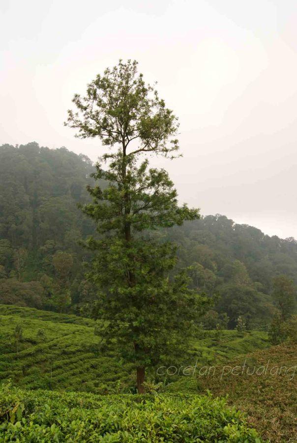 Pohon di kebun teh medini