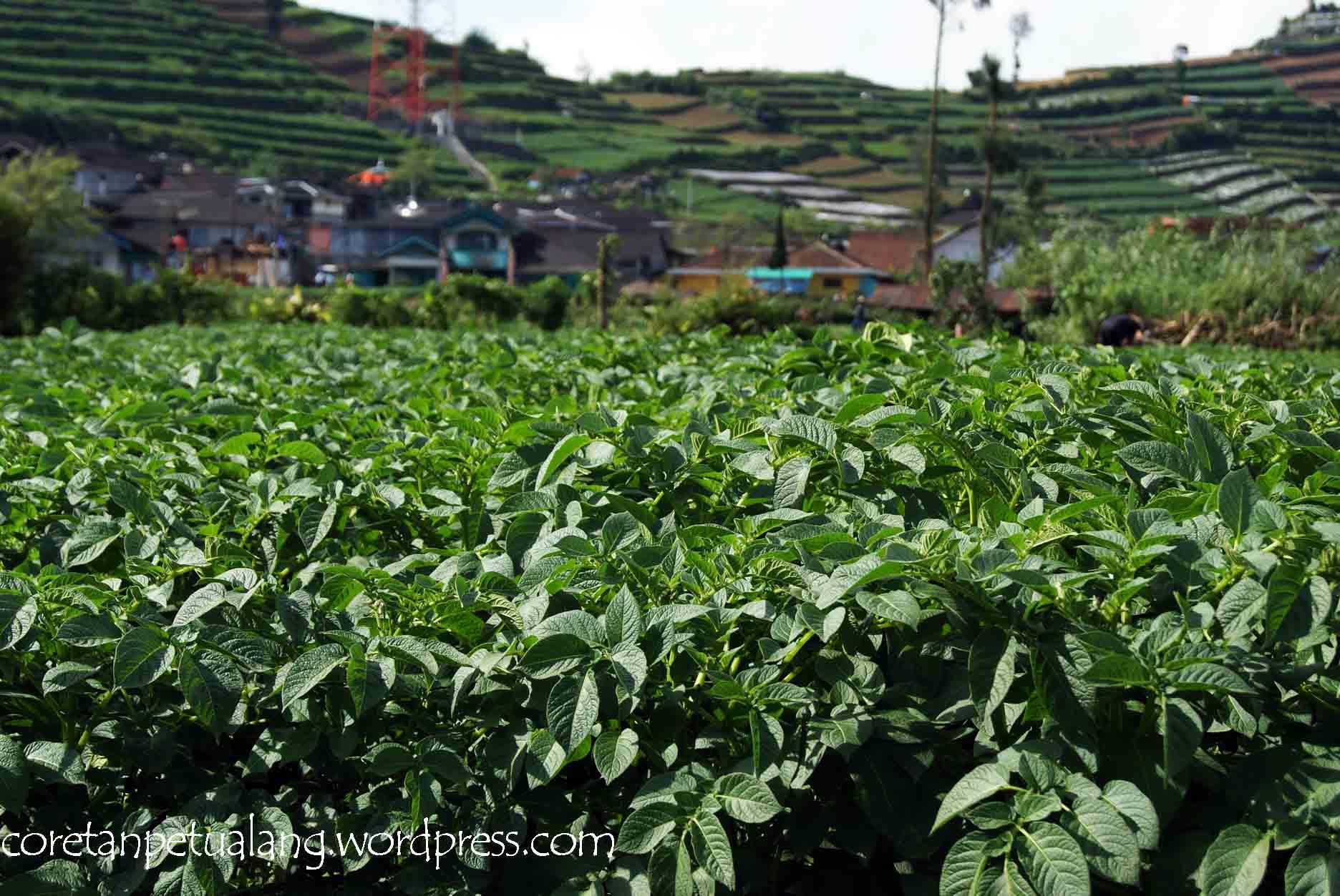 Pohon Kentang yang merupakan sumber utama pertanian di Dieng