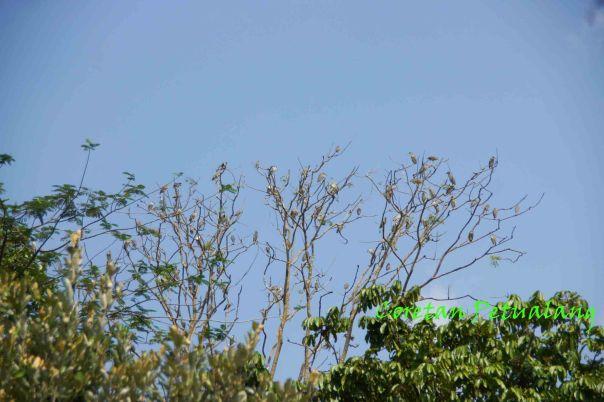 Koleksi burung liar Seruling Mas