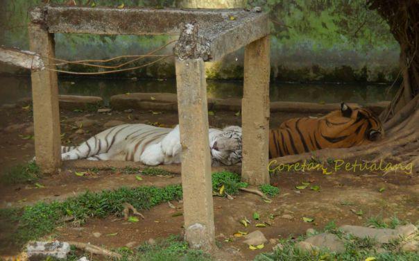 Harimau di Seruling mas Banjarnegara